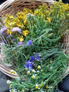 Midsommer, indsamling af urter